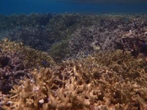 ユビエダハマサンゴ