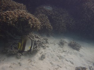 サンゴ礁の下から出てきていたアカククリ