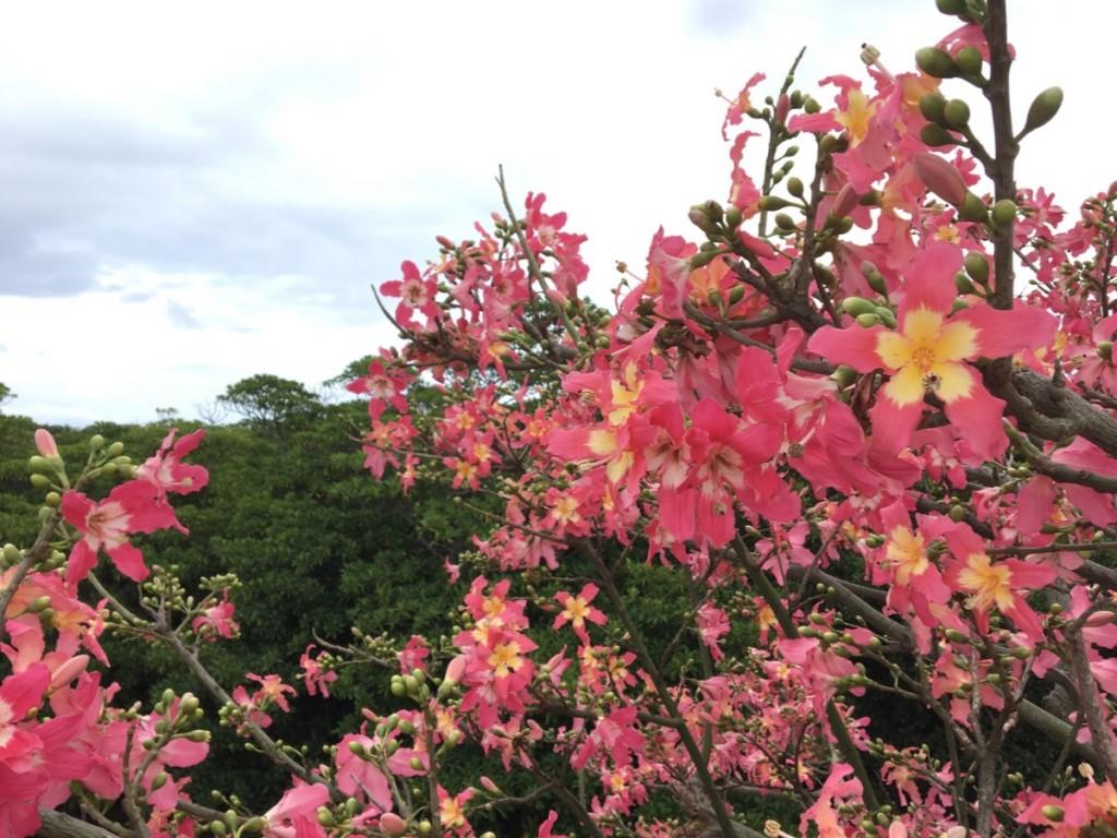 トックリキワタの花が満開