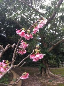 先日行ったバンナ公園 緋寒桜がキレイな季節になりました