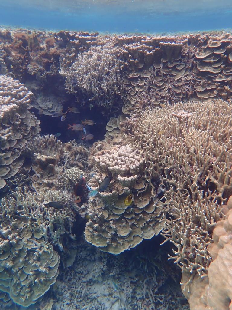 ウスサザナミサンゴ