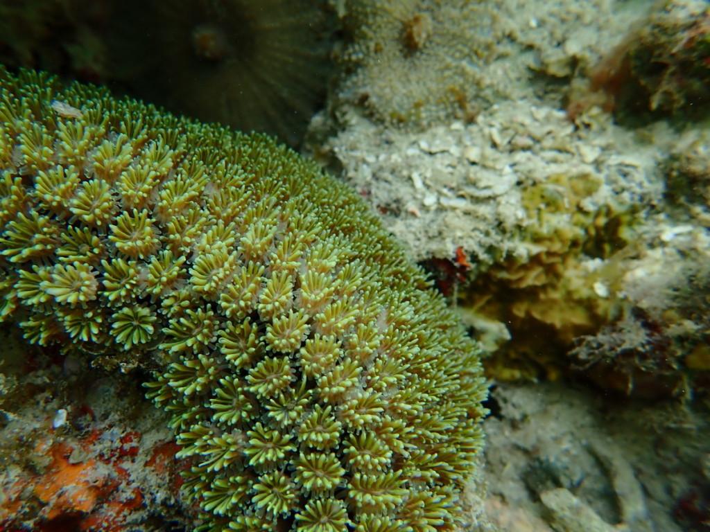 アザミサンゴ