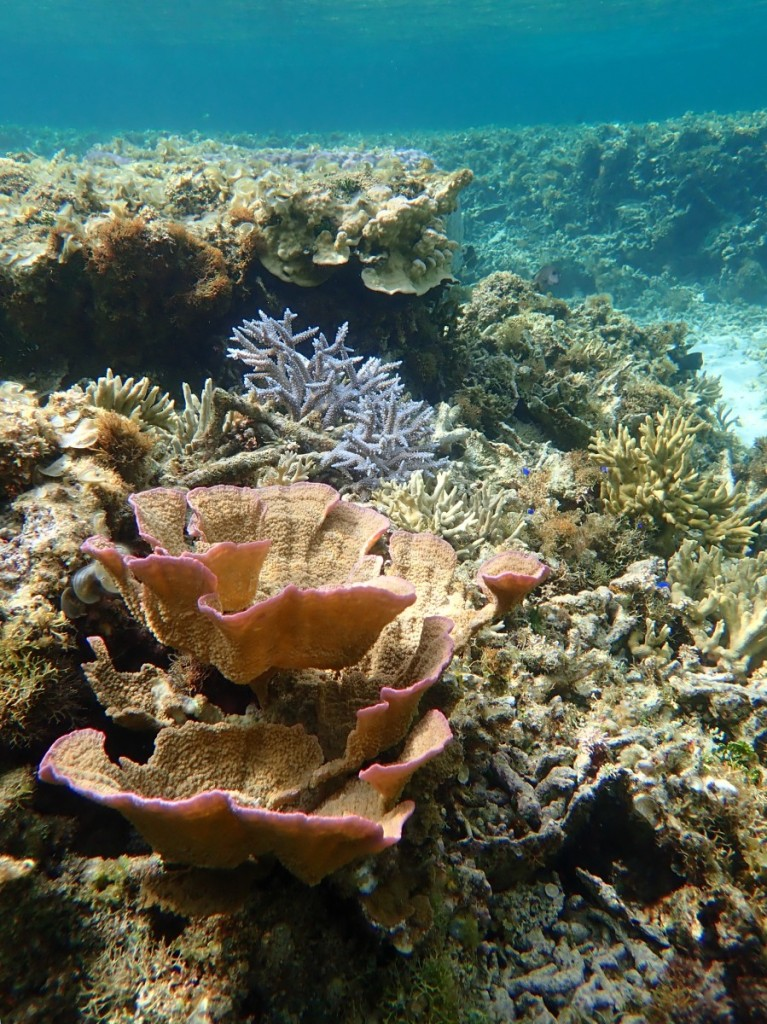 最近登場回数が多いウスコモンサンゴ