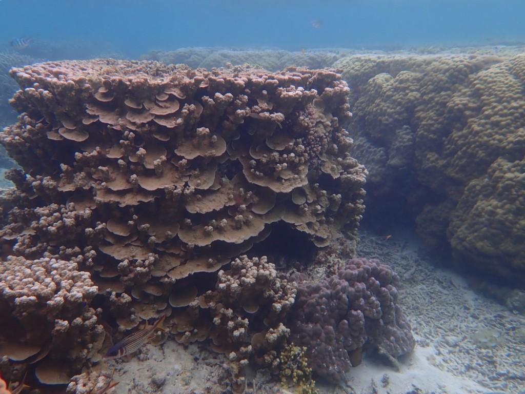 円柱のパラオハマサンゴ